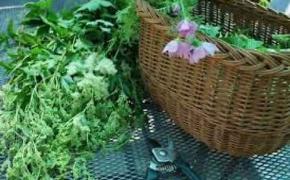 Riconoscimento e uso di erbe spontanee